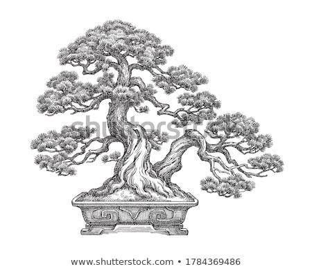 Bonsai çam ağacı beyaz doğa yaprak arka plan Stok fotoğraf © chris2766