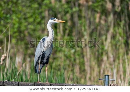 Grijs reiger naar volgende maaltijd natuur Stockfoto © chris2766