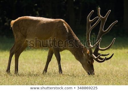 Grazing red deer hart Stock photo © photosebia
