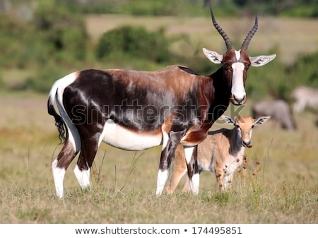 Bontebok Antelope Baby Stock photo © fouroaks