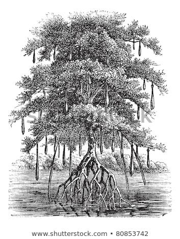 Mangroves, vintage engraving. Stock photo © Morphart