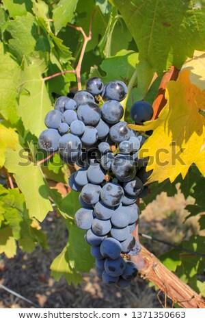 Grape Leaf 02 Stock photo © Undy