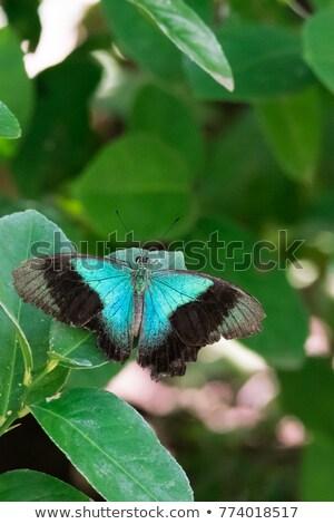 Blue Mountain Swallowtail Stock photo © bluering