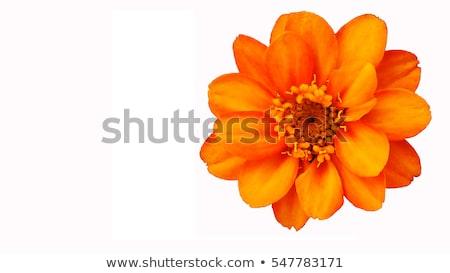 laranja · perene · flor · sol · estrela - foto stock © simply