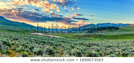 Bison Buffalo Wyoming Yellowstone Stock photo © pictureguy