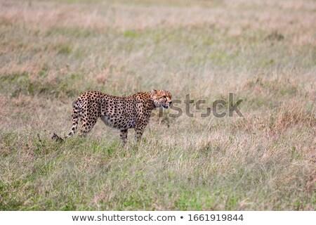 Gepárd sétál fű játék tartalék Dél-Afrika Stock fotó © simoneeman