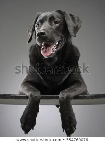mixed breed happy dog portrait in grey background stock photo © vauvau