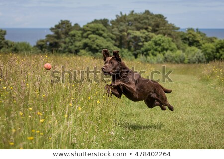 Stock photo: Black dog breed Labrador playing with a ball