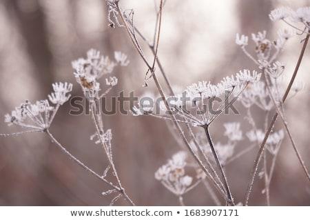 Fagyos tél cserje fagyott tájkép textúra Stock fotó © Kidza