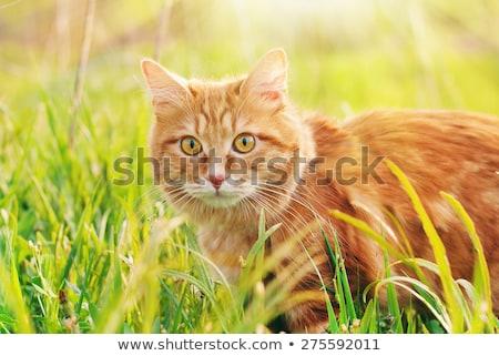 Macska zöld fű nyár gyönyörű piros cica Stock fotó © Yatsenko