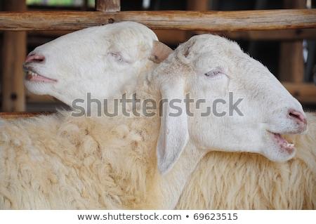 cute sheeps spouses Stock photo © adrenalina