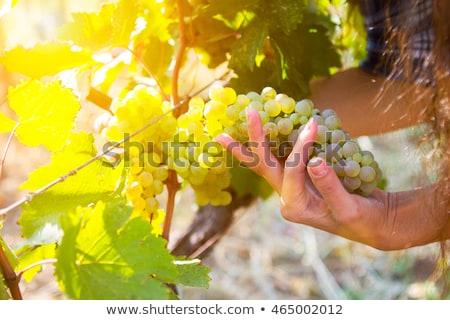 Grape harvesting in a vineyard in Kakheti region, Georgia. Woman Stock photo © Yatsenko