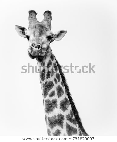 Stock fotó: Zsiráf · néz · kamera · feketefehér · park · égbolt