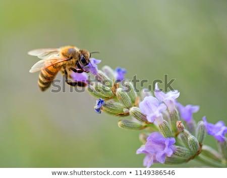 Bee bloem hoofd zomer werken insect Stockfoto © Kidza