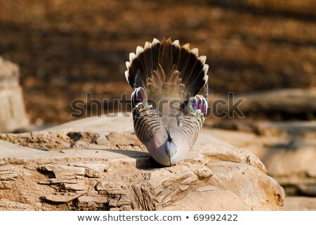 Crested Pigeon (Ocyphaps lophotes) Stock photo © dirkr