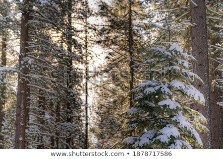 Sun bursting through snow-covered trees Stock photo © IS2