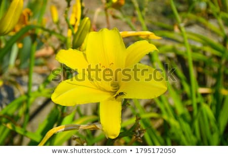 Dwarf daylily (Hemerocallis minor) Stock photo © rbiedermann