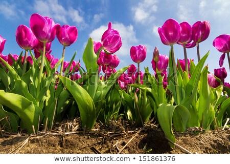 Purple тюльпаны голландский полях области Tulip Сток-фото © compuinfoto