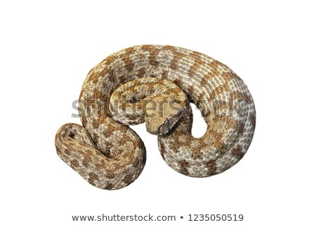 isolated Macrovipera lebetina schweizeri Stock photo © taviphoto