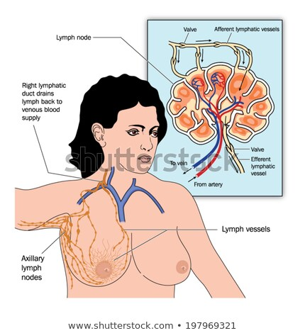 Female Breast Anatomy And Axillary Lymph Nodes Stockfoto © Blamb