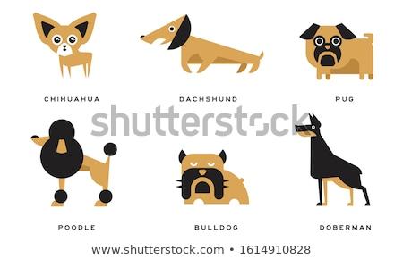 cachorro · poodle · preto · estúdio · mamífero · dois - foto stock © cynoclub