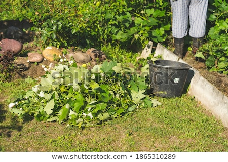 Hands of young female farmer cutting leaves of garden plant with pruning shears Stock photo © pressmaster