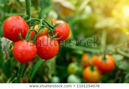 vers · tuin · tomaten · basilicum · koken · tabel - stockfoto © karandaev