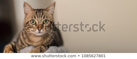 Close portrait of an adorable tabby cat Stock photo © vauvau