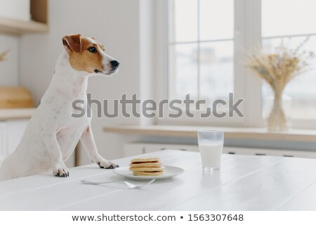 White and brown jack russell terrier keeps paws on white table, wants to eat pancakes, being hungry, Stock photo © vkstudio
