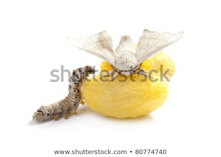 butterfly silkworm cocoon silk worm three stages Stock photo © lunamarina