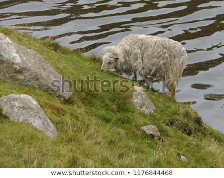 sheep behind grass in scotland stock photo © hofmeester