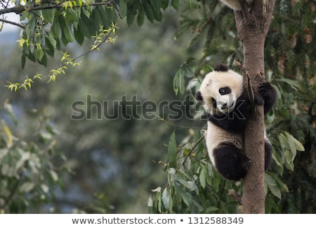 Panda medvebocs játszik park baba természet Stock fotó © bbbar