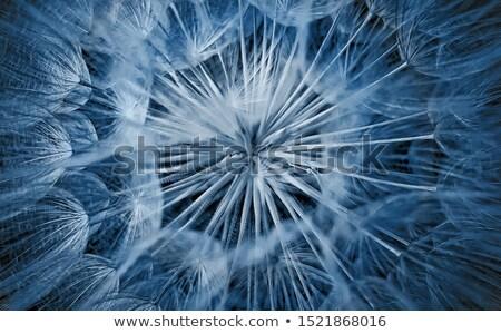 Dandelion Closeup Stock photo © saje