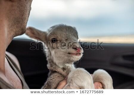 Portret jongen schapen hand kind Stockfoto © zzve