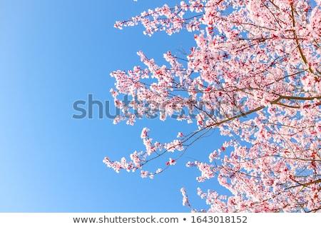 Bőség virágzó ágak gyönyörű japán cseresznye Stock fotó © Hofmeester