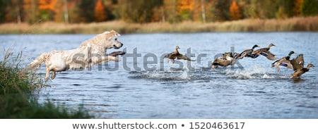 работает воды утки Лучи закат птица Сток-фото © kornienko