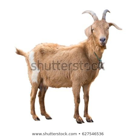 goat isolate stock photo © cgsniper