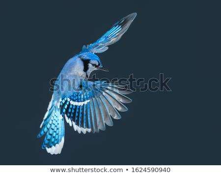 Azul pássaro isolado branco Foto stock © saddako2