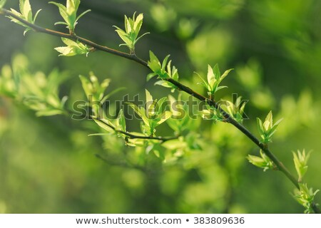 Fresh new spring leaves Stock photo © Zela