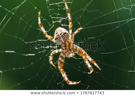 orb weaver spider in its web stock photo © rhamm