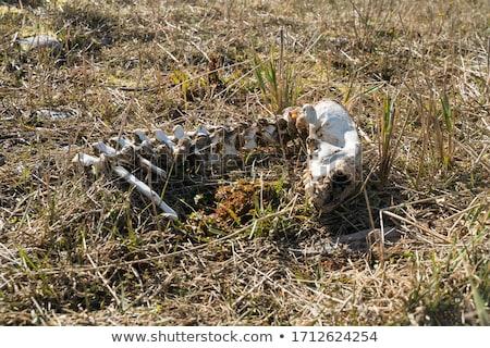 Dode schapen dood boerderij leven voorraad Stockfoto © Undy