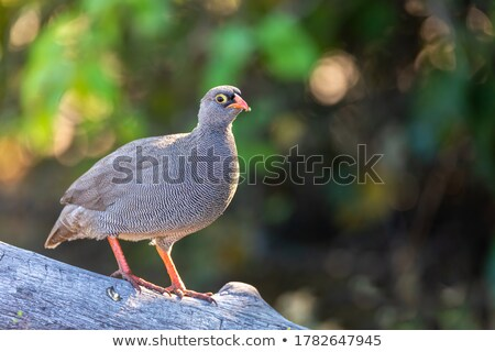 Red Billed Francolin - Wild Game Birds from Africa Stock photo © Livingwild
