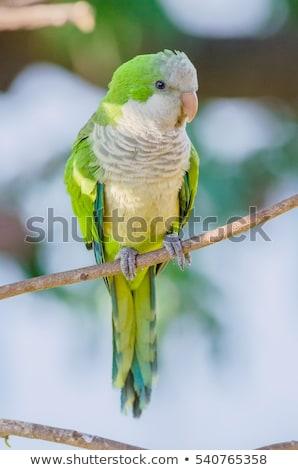 Keşiş doğa kuşlar papağan yaban hayatı Stok fotoğraf © chris2766