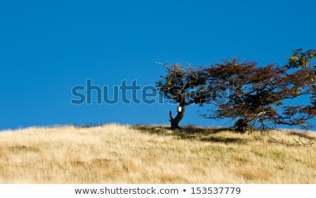 Autumn in Patagonia. Tierra del Fuego. Tree Growing in the wind Stock photo © xura
