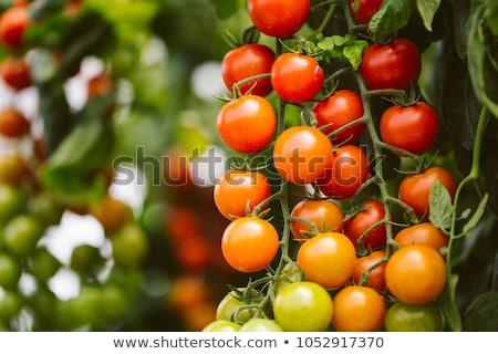 Tomaten organisch oude houten tafel hout achtergrond Stockfoto © marimorena