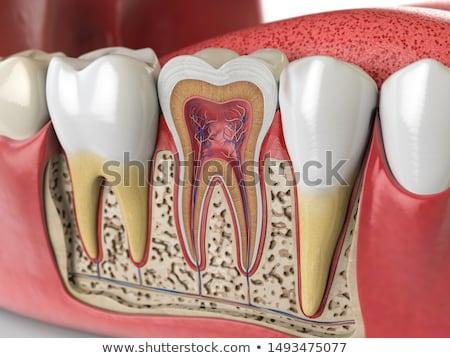 human tooth anatomy stock photo © stockshoppe