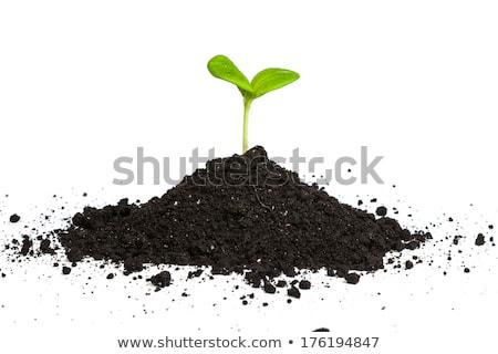 halom · kosz · zöld · növény · hajtás · izolált - stock fotó © bloodua
