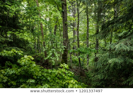 Lush green mixed forest stock photo © hraska