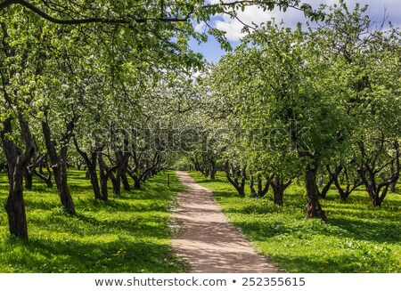 Blooming Apple Trees in the park. Pathway. Spring. Russia Stock photo © AntonRomanov
