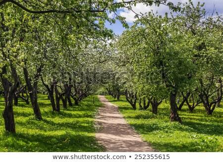 virágzó · alma · fák · park · ösvény · tavasz - stock fotó © AntonRomanov